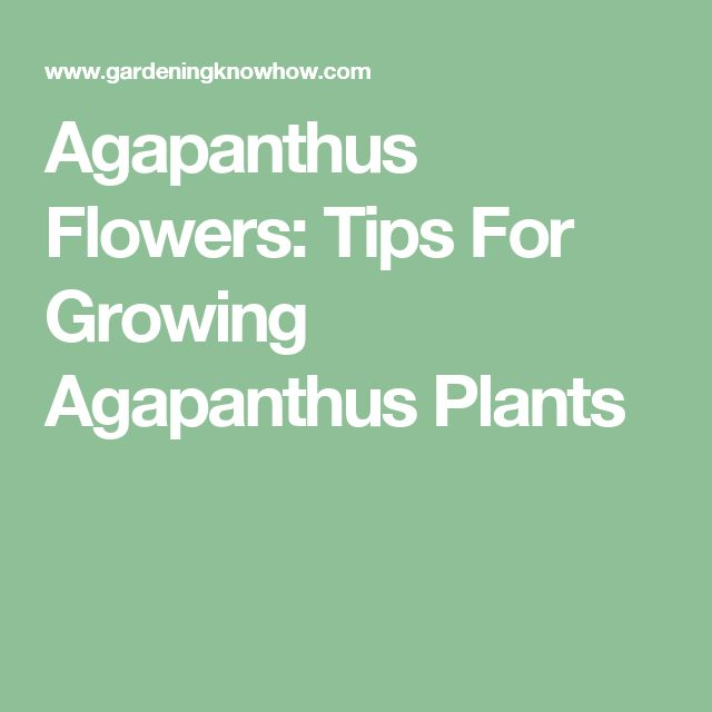 Agapanthus Flowers: Tips For Growing Agapanthus Plants