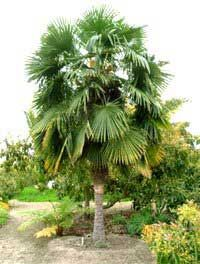 Windmill Palm Tree...in A Pot For A Few More Years Then Planting