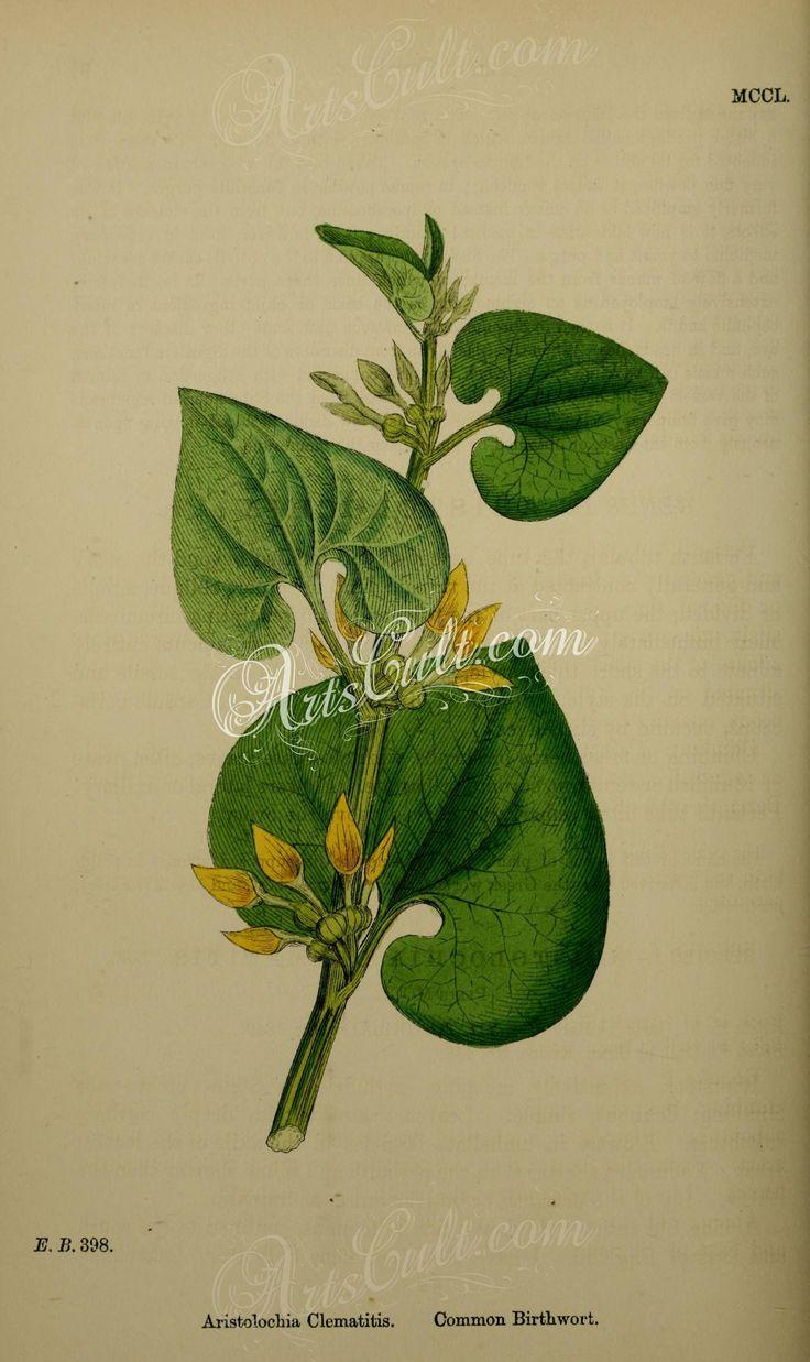 Common Birthwort, aristolochia clematitis      ...