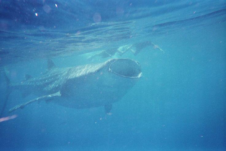 Snorkelen met walvishaaien in Mexico