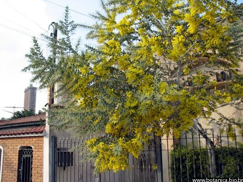 """Acacia podalyriifolia 