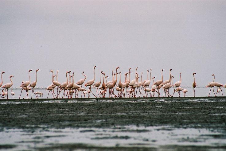 Flamingos, Luderitz, Nambia