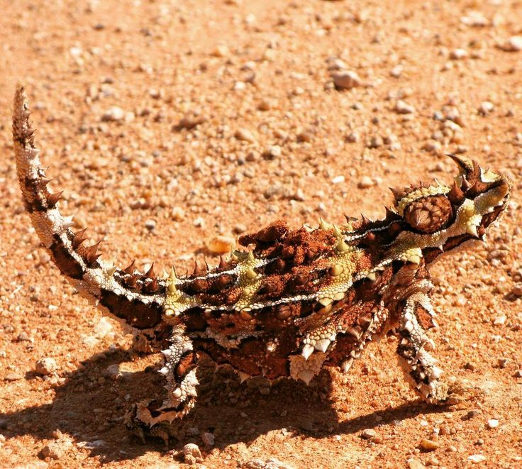 Thorny devil #thorny #australia #desert #weird #lizard