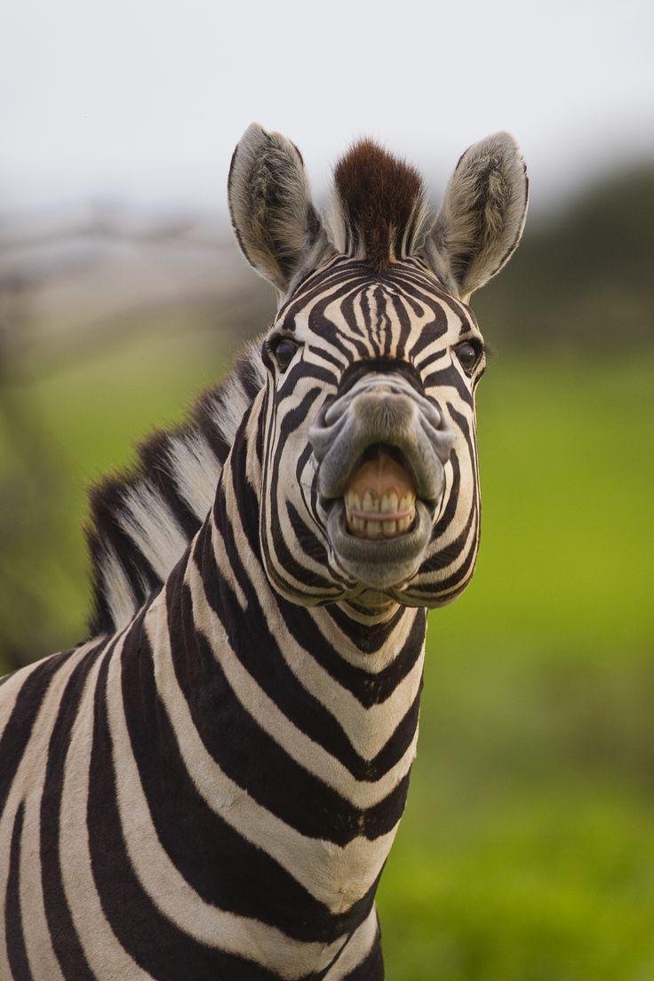 Cformalzebrafacebookblackfacezebrafinch Cartoon Zebra: Cute Baby Zebra  Cartoon Illustration How To Draw