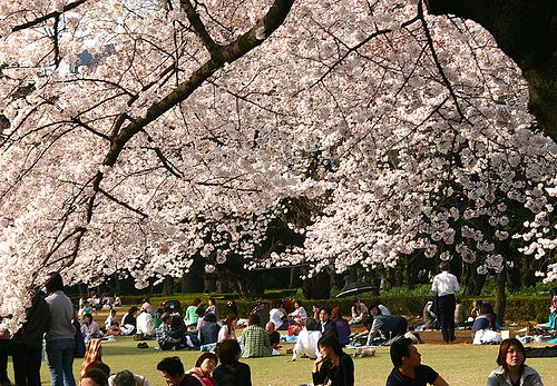 """Hanami .  When cherry blossoms start to bloom, many Japanese go out and have a little party under the tree. They call this """"Hanami"""", or cherry blossom viewing.  Japanese deeply love cherry blossoms. #ghaatispicks"""