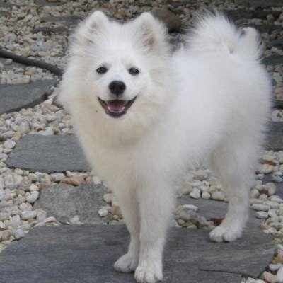 American Eskimo DogEskie, Chien Esquimau Américain Le Chien Esquimau Américain ou « American Eskimo Dog », ressemble aux chiens primitifs et nordiques mais a pour ancêtres les Spitz allemands. Autrefois utilisé dans les cirques, il est à présent un fabuleux chien de compagnie, gentil, affectueux et joueur. Il existe 3 variétés de taille : Standard, Miniature, Toy.