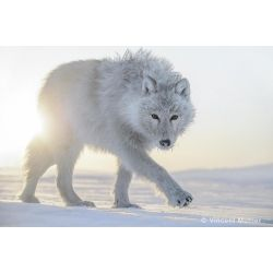 """By Vincent Munier from the book """"Arctique"""""""