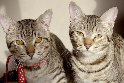 Muffin, gatito pardo muy guapo y súper mimoso esterilizado, nacido en Mayo´15, en adopción. Valencia.
