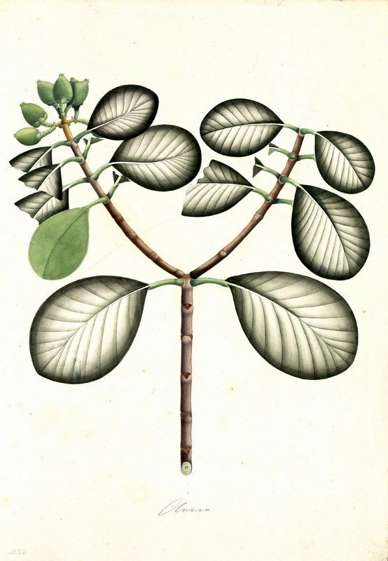 Clusia. Proyecto de digitalización de los dibujos de la Real Expedición Botánica del Nuevo Reino de Granada (1783-1816), dirigida por José Celestino Mutis: www.rjb.csic.es/icones/mutis. Real Jardín Botánico-CSIC.