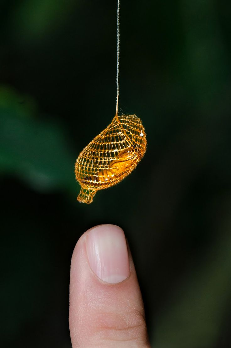 """sixpenceee: """" The Urididae is a type of moth and it's cocoon is a bright orange color, that sometimes looks golden. The cocoon is usually suspended on a long thread below a leaf. The net structure of..."""