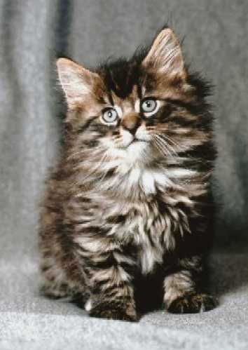 Norwegian Forest Cat. - I imagine this is what our sweet Tater looked like as a kitten.