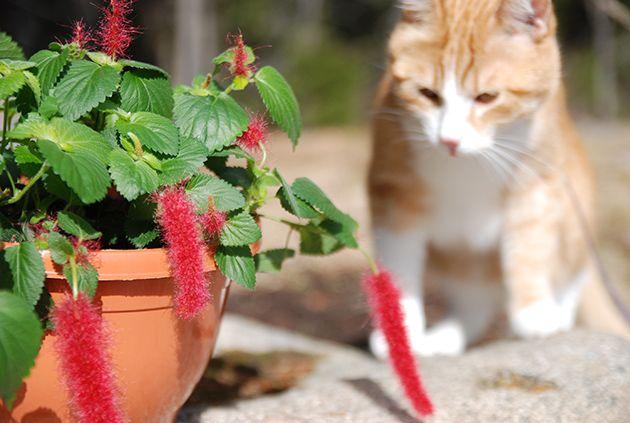 """Kissanhäntä on kaunis kesäkukka valoisalle tai puolivarjoisalle kasvupaikalle. Kirkkaanpunaiset """"hännät"""" ovat pörröisiä ja hauskoja katseltavia."""