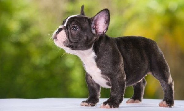 Blue French Bulldogs for Sale in north ga | French miniature bulldog puppies Offer Indiana 350$ | For Sale Pets |