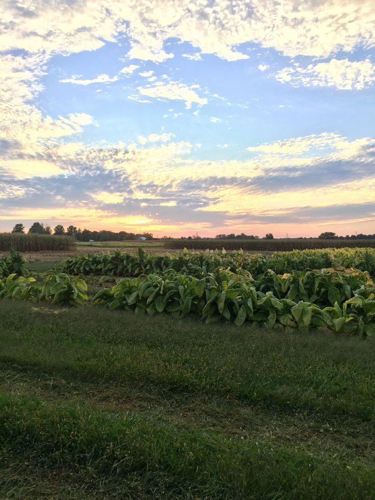 Tobacco in Versailles Kentucky.