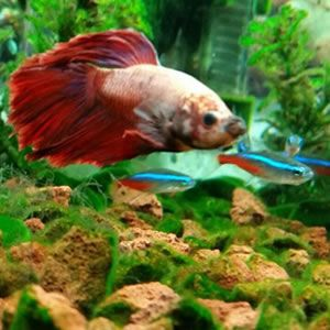 25 best ideas about fish tank bed on pinterest fish for What fish can live with bettas