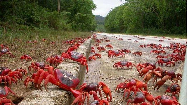 La migración de los cangrejos rojos, Isla de Navidad