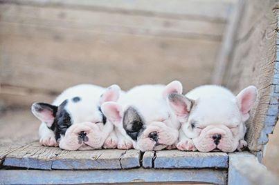 Three 'Lil Frenchies