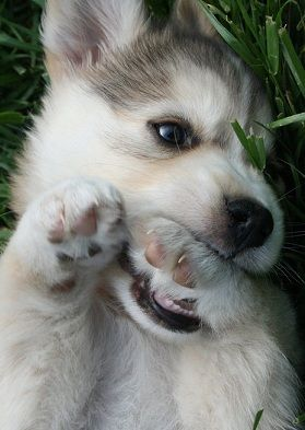 If someone were to give me a husky, I would be the happiest person in the world! I think I have an obsession.....