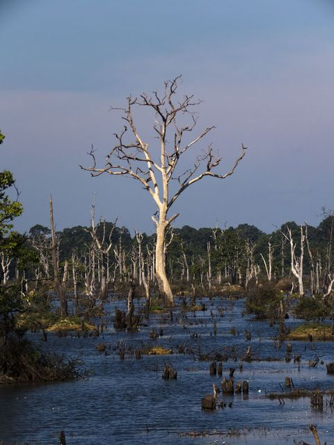 Dead tree in the reservoir at Neak Pean in Cambodia