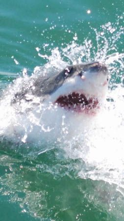 Great White Shark cage diving in South Africa.