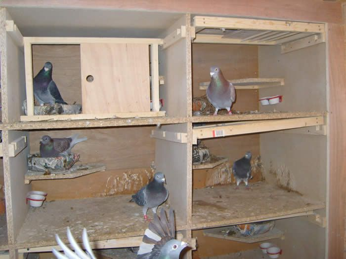 we homemade live feeder get typical pigeons where best remedies pigeon home of to rid around pest see homerepairgeek how control