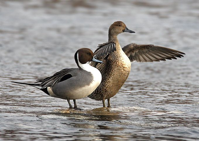 northern pintail duck | Beautiful photographs of northern pintail