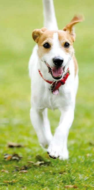 Parson Jack Russell Terrier, Sweet Dogs!