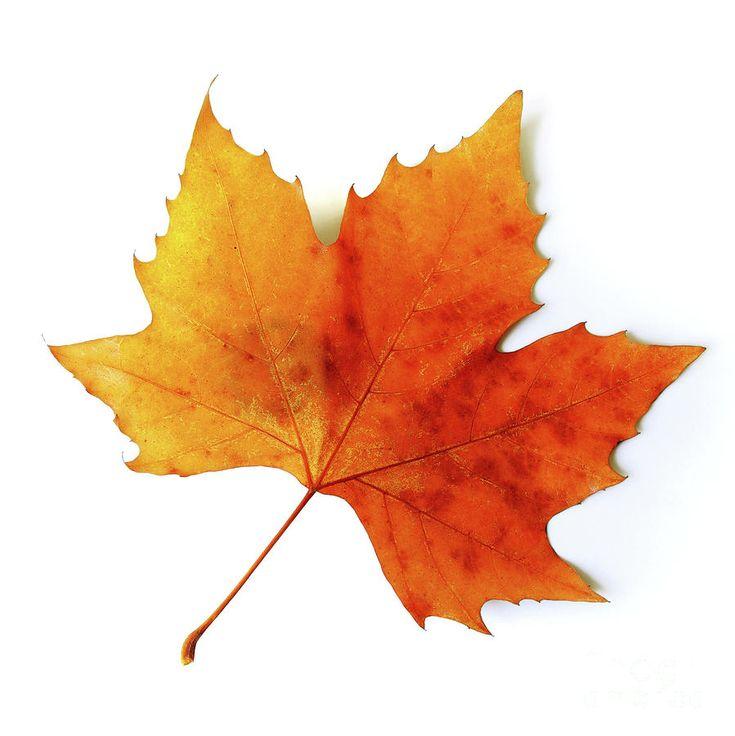 http://images.fineartamerica.com/images-medium-large/fall-leaf-carlos-caetano.jpg (14/11/2013)