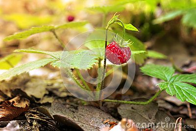 Wild red strawberry in forest