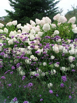 """Verbena Bonariensis Also called """"Verbena on a Stick"""" very cool in bouquets too in front of hydrangea"""