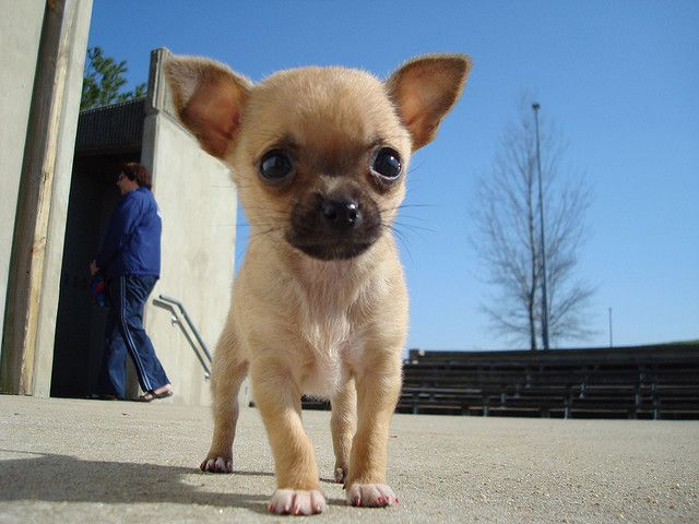 Joann - Baby Chihuahua - This is my (Joann's) chihuahua Scooter. She's a fawn chihuahua.