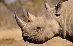 Image result for rhino pictures