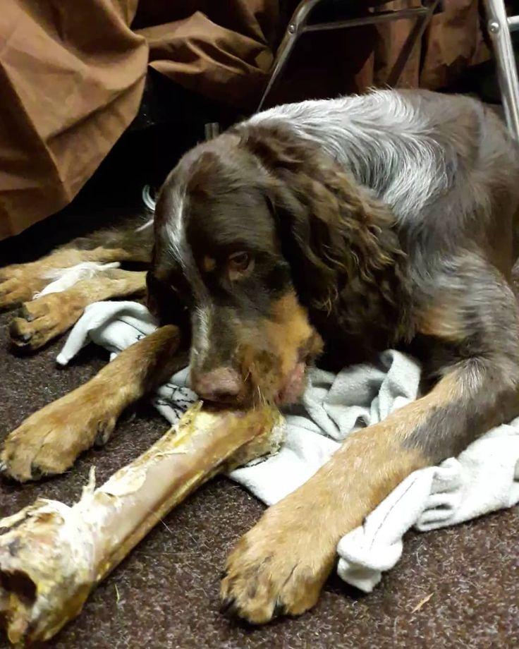 Wir sind auf der #jagdundhund #Messe in #Dortmund. Kommt uns doch in Halle 8 an Stand D12 (VBBFL) besuchen :) #epagneulpicard #picardyspaniel #picard #epagneul #vdh #fci #breeder #züchter #vomschlossburgerwald #jagdhund #hund #chiendechasse #chien #hund #dogsofinstagram #dogstagram #dog #hunt #huntress #jäger #huntingdog #pointingdog #vorstehhund