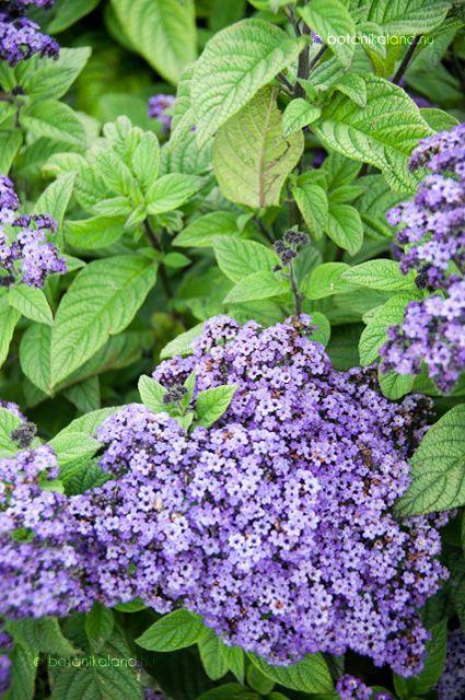 Heliotropium Arborescens, vaníliavirág
