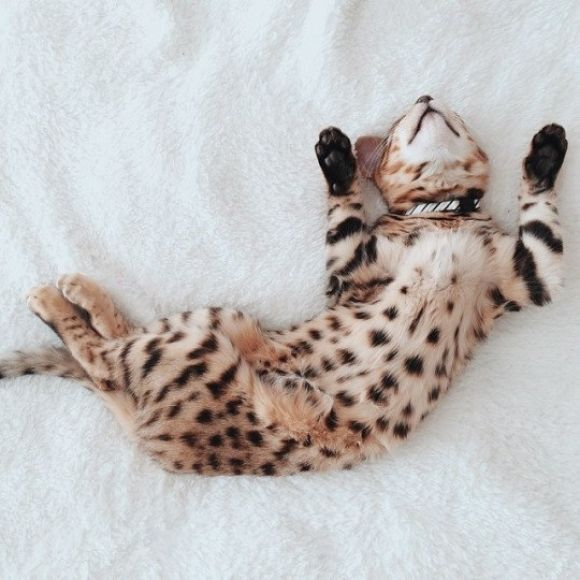 Exotic kitten! Reminds me of my favorite animal, the Cheetah.