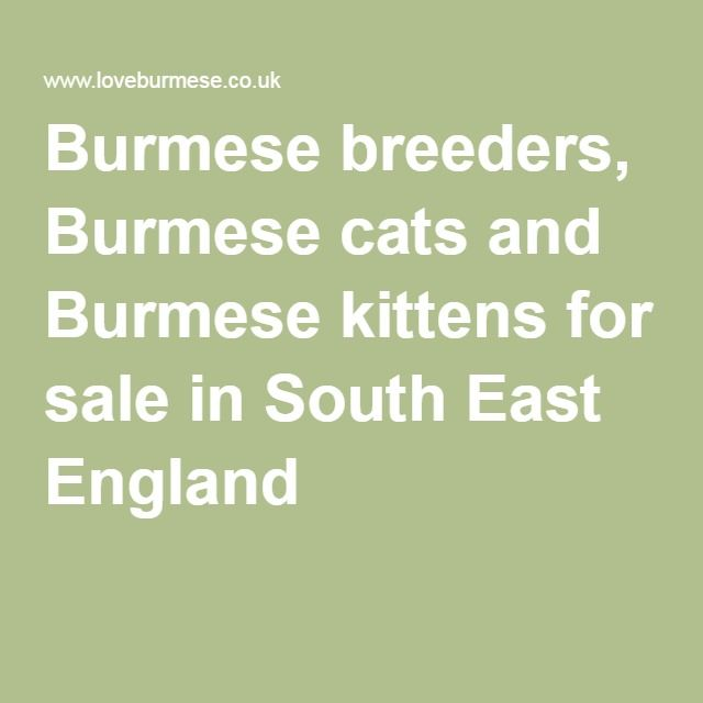 Burmese breeders, Burmese cats and Burmese kittens for sale in South East England