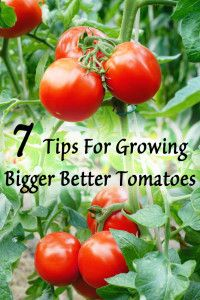 7 Tips for growing bigger better tomatoes