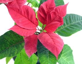 Le poinsettia est l'une des plus jolies plantes d'intérieur, souvent remarquable au moment des fêtes de fin d'année et de Noël. Son entretien est relativement aisée, que ce soit pour la plantation, l'arrosage ou le rempotage. En savoir plus sur http://www.jardiner-malin.fr/fiche/poinsettia-poinsetia.html#GgBDj1yJPkZKWiBD.99