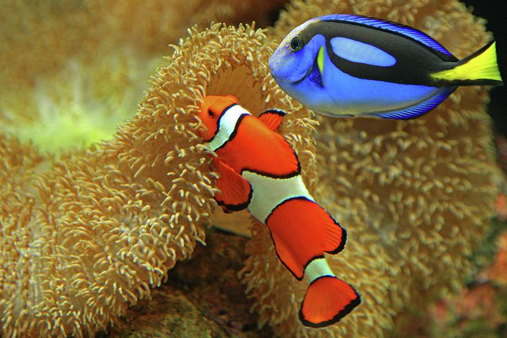 Clownfish and regal tang finding nemo life and real life for Blue clown fish