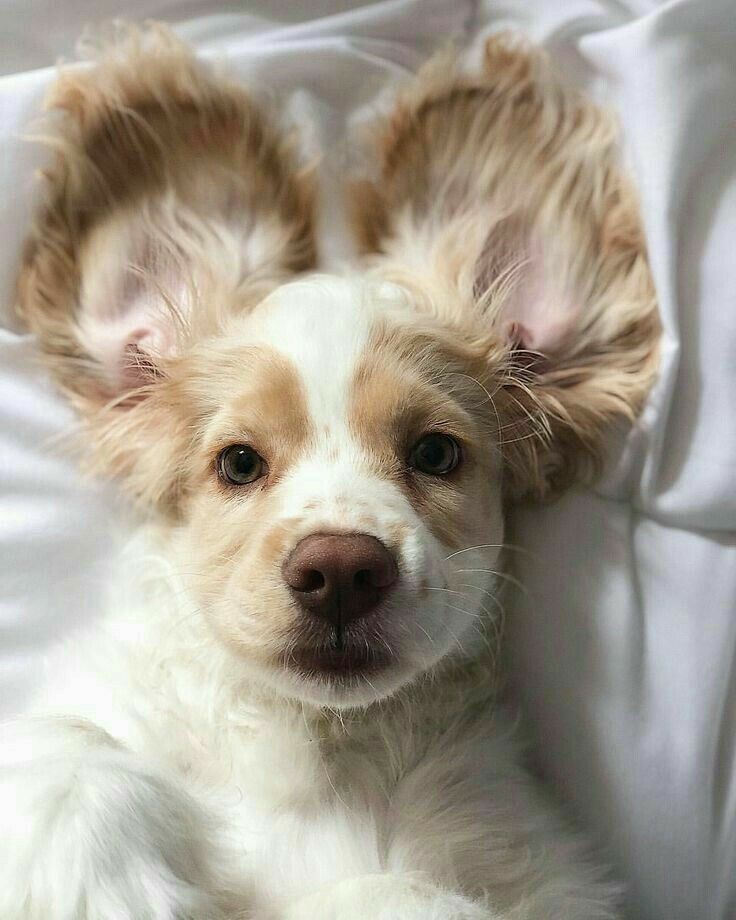 Pin By Georgia Roux On Cuties Dogs Cats And Animals In 2020 Cute Baby Animals Cocker Spaniel Puppies Cute Animals