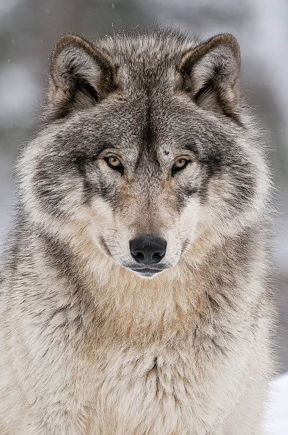Timber Wolf - stock photo                                                                                                                                                                                 More