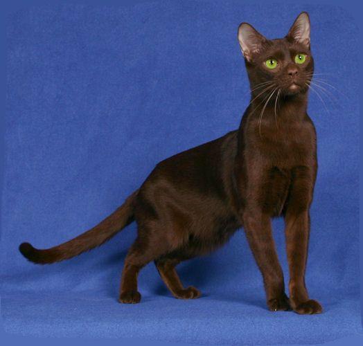 Havana Brown Cat Images