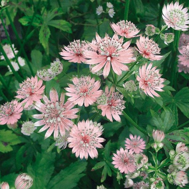 Astrantia major Rosea - photo from Promessdefleurs;  Great Masterwort (Astrantia major) is a herbaceous perennial that grows in central and eastern Europe.