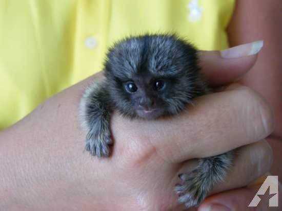 Adorable Marmoset monkeys for rehoming for Sale in Dallas, Texas Classified | AmericanListed.com