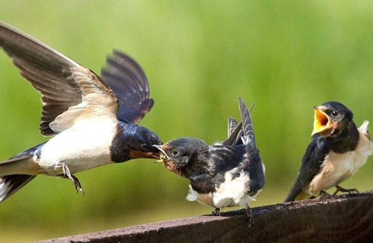 Las golondrinas son aves que mantienen una alimentación netamente insectívora, incluyendo en su dieta una gran variedad de insectos voladores como moscas, grillos, mosquitos, saltamontes, hormigas voladoras, excluyendo únicamente aquellos que poseen aguijones venenosos. Se caracterizan por ser aves muy activas y resistentes, reuniéndose durante el periodo de cría para cazar en parejas. Alimentación Las golondrinas tienen una forma muy peculiar e interesante de alimentarse, donde no detienen…