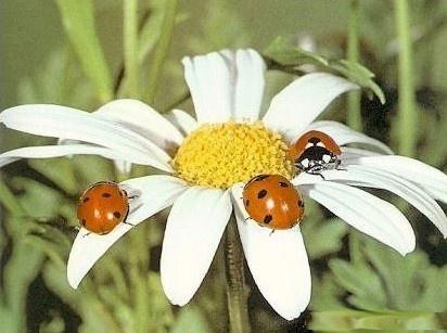 My lucky ladybugs