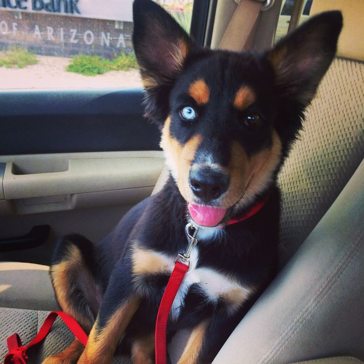 19 best images about Rottweiler huskies - on Pinterest ...