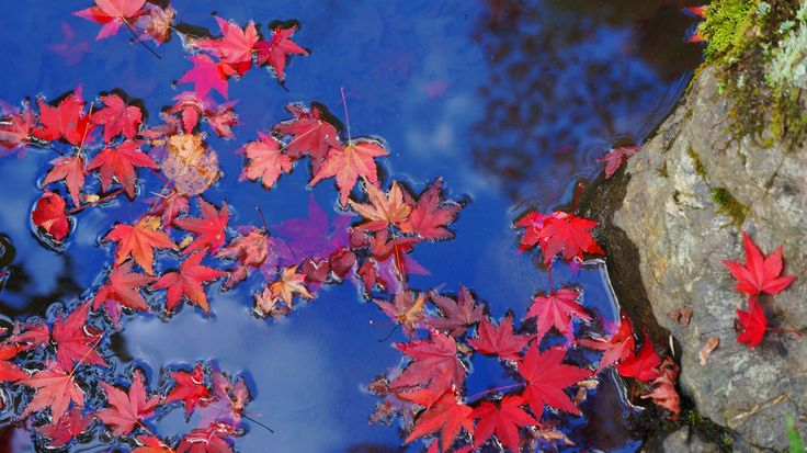 京都 天龍寺 散りもみじ 水鏡 Japan,Kyoto,Tenryu-ji temple,autumn leaves,colored leaves