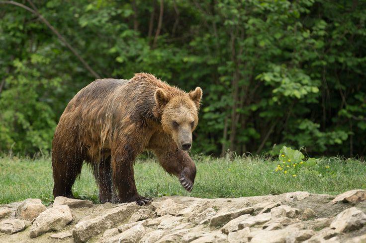 Bear Watching in the Carpathian Mountains