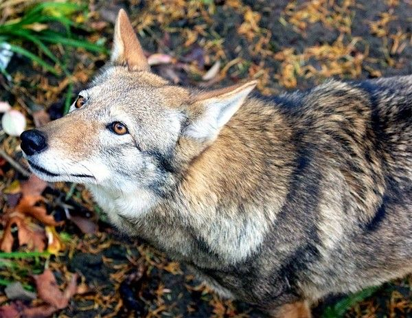Scientists Warn Federal Agency's Plan Would 'Result in Extinction of Red Wolves in the Wild'